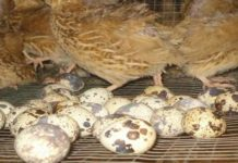 Mudahnya Beternak Burung Puyuh