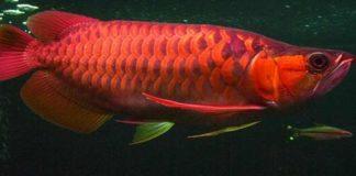 Pembenihan Ikan Arwana yang Jarang Diungkap