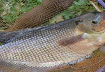 Inilah Langkah-Langkah Budidaya Ikan Gurame