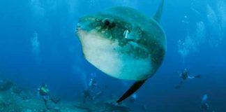 Mengenal Ikan Mola-Mola, Penghuni Laut Nusa Penida