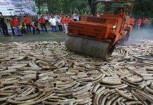 Singapura Hancurkan Gading Gajah Ilegah Sebanyak 8 Ton