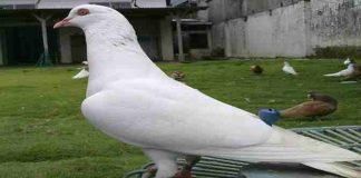 Tips Mudah Berternak Burung Merpati