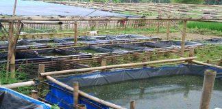 Usaha Tambak Ikan Lele Ternyata dapat Memanfaatkan Pekarangan Rumah