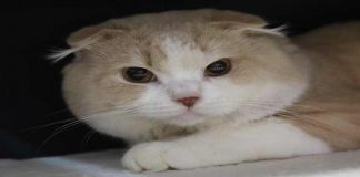 Waspada! Ikan dapat Sebabkan Kucing Hipertiroidisme