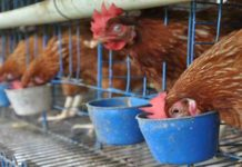 Distan Yogyakarta Imbau Peternak Unggas Waspadai Virus H5N1