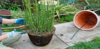 Langkah-Langkah Menanam Bambu Air