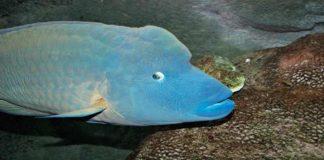 Menakjubkan, Ikan Napoleon di Perairan Natuna Dibanderol Rp1 Juta/Kg!