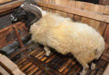 Puluhan Domba Mati di Purwakarta