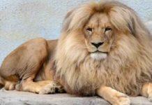 Singa Lepas dari Kandang di Kebun Binatang Jerman