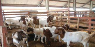 Panduan Praktis Beternak Kambing Gibas
