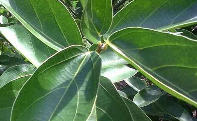 manfaat daun cincau untuk kesehatan (pertanianku.com)