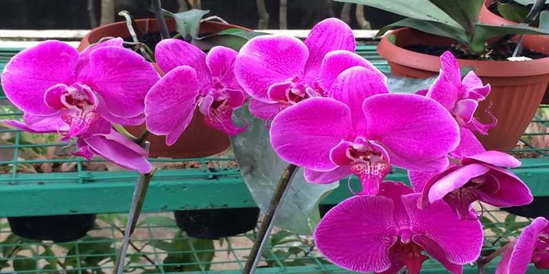 Budidaya Bunga Anggrek Secara Hidroponik Kenapa Tidak