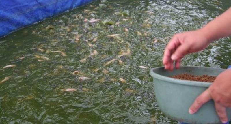 Begini Cara Pemberian Pakan Ikan Gurami Yang Baik Artikel Pertanian Terbaru Berita Pertanian Terbaru
