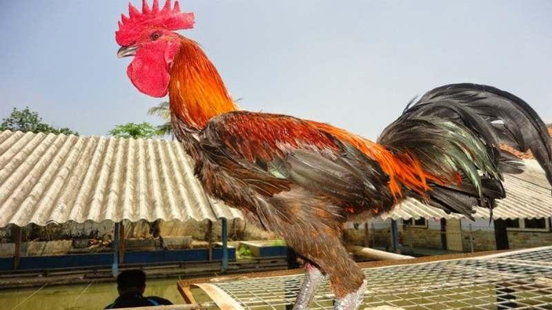 600+ Gambar Ayam Pelung