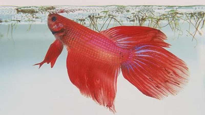 Pemberian Pakan Ikan Cupang Harus Sesuai Artikel Pertanian