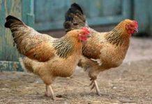kotoran ayam bisa jadi pembangkit listrik