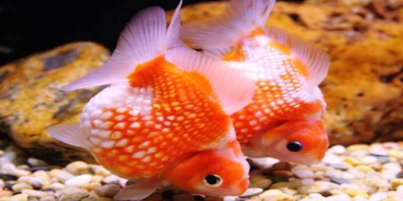 Kelebihan dan Kekurangan Ikan Mas Koki