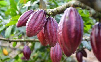 modifikasi DNA tanaman kakao