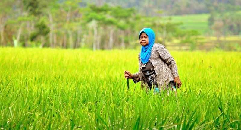 Mentan Tengkulak Menikmati Untung Besar Produksi Pertanian