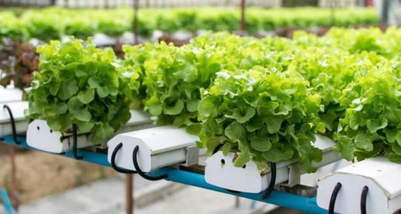 Yuk Lihat Manfaat Mengonsumsi Sayuran Hidroponik Anda