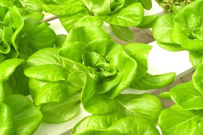 Budidaya Tanaman Hidroponik Untuk Pemula Artikel Pertanian