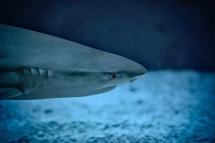4300 Koleksi Gambar Ikan Hiu Gergaji HD Terbaik