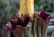 Bunga Bangkai dalam Pot