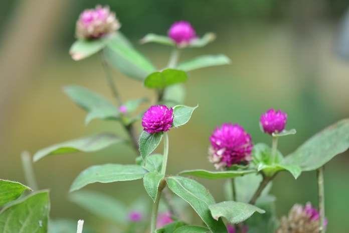 cara cermat menanam dan merawat bunga kenop