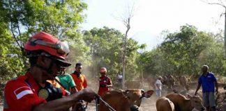 evakuasi ribuan ternak