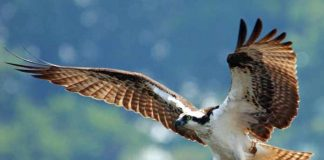 jalur migrasi burung pemangsa