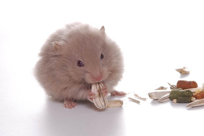 fakta unik hamster