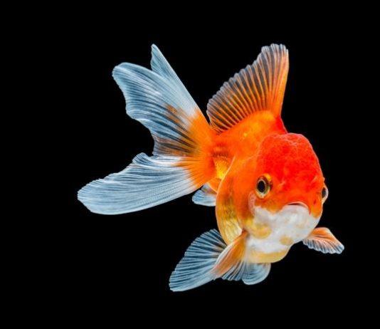 jenis-jenis ikan mas koki