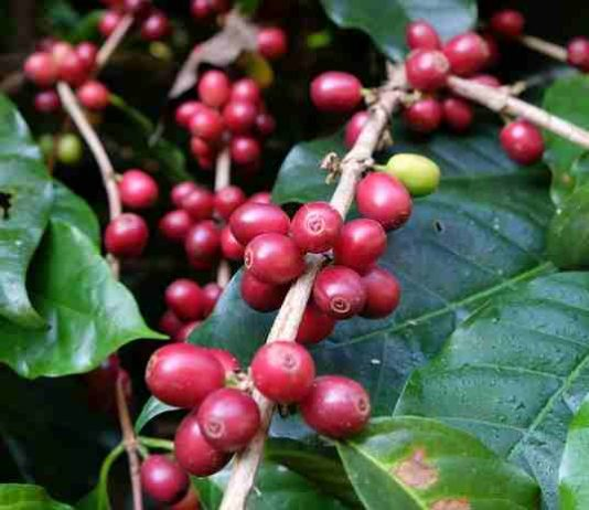 budidaya tanaman kopi