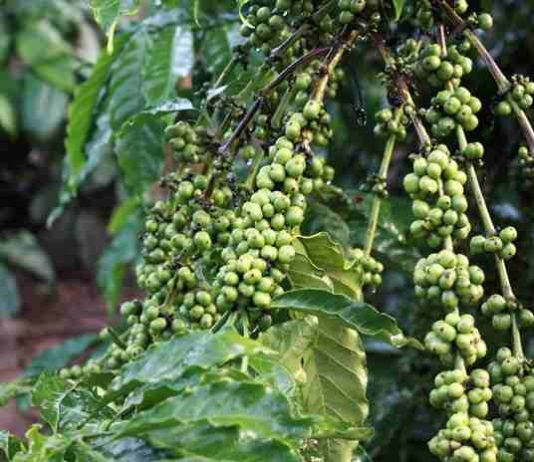 ekspor kopi Indonesia
