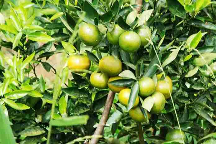 tiga jeruk lokal