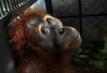 populasi orangutan kalimantan