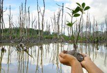 2.000 pohon mangrove