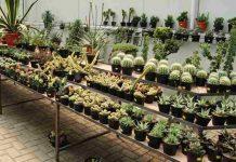 perbedaan kaktus dengan sukulen