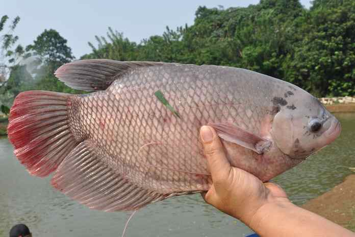 jenis-jenis ikan gurami