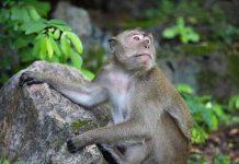 perbedaan monyet dan kera