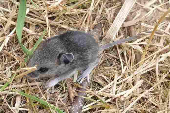 hama tikus