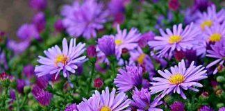 menanam dan merawat bunga aster