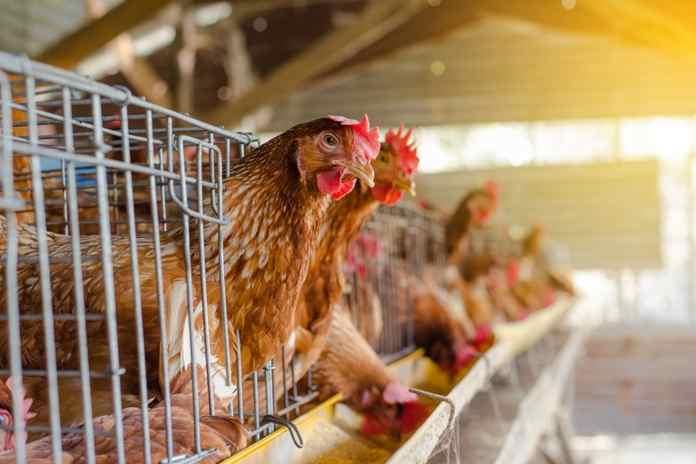 membedakan ayam sehat dan ayam sakit