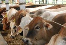 mengatasi penyakit ngorok pada ternak