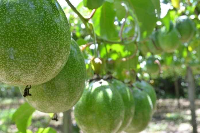 menanam markisa di halaman rumah