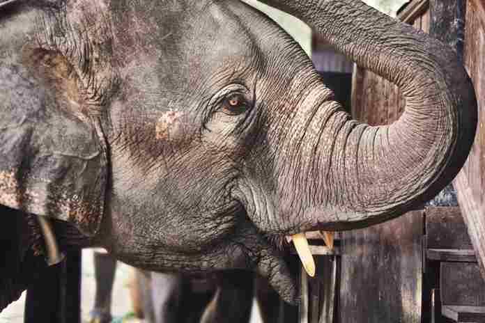 Gajah Liar di Riau