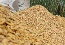komoditas padi di Sukabumi