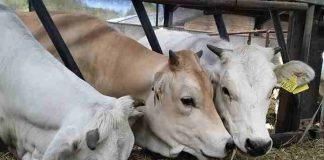 komplotan pencuri sapi