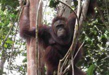 Lima orangutan dilepasliarkan