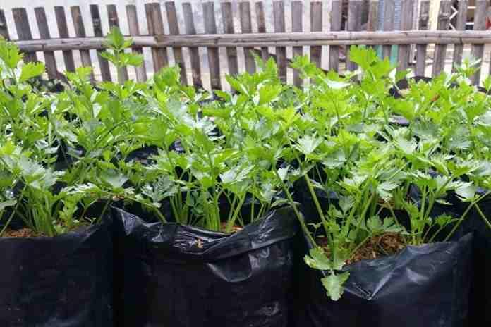 cara menanam seledri di polybag